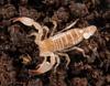 http://mczbase.mcz.harvard.edu/specimen_images/invertebrates/large/46988_Belisarius_xambeui_2.jpg