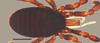 http://mczbase.mcz.harvard.edu/specimen_images/invertebrates/large/53018_Microgovia_chenepau_1.jpg