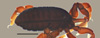 http://mczbase.mcz.harvard.edu/specimen_images/invertebrates/large/53018_Microgovia_chenepau_2.jpg