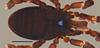 http://mczbase.mcz.harvard.edu/specimen_images/invertebrates/large/53018_Microgovia_chenepau_3.jpg