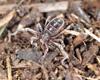 http://mczbase.mcz.harvard.edu/specimen_images/invertebrates/large/53025_Ricinulei_4.jpg