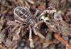 http://mczbase.mcz.harvard.edu/specimen_images/invertebrates/large/53025_Ricinulei_5.jpg