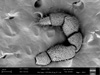 http://mczbase.mcz.harvard.edu/specimen_images/invertebrates/large/53180_Microgovia_chenepau_4.jpg