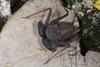 http://mczbase.mcz.harvard.edu/specimen_images/invertebrates/large/68109_Phrynus_marginemaculatus_2.jpg