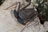 http://mczbase.mcz.harvard.edu/specimen_images/invertebrates/large/68109_Phrynus_marginemaculatus_4.jpg
