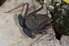 http://mczbase.mcz.harvard.edu/specimen_images/invertebrates/large/68109_Phrynus_marginemaculatus_5.jpg
