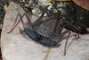 http://mczbase.mcz.harvard.edu/specimen_images/invertebrates/large/68109_Phrynus_marginemaculatus_7.jpg