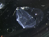 http://mczbase.mcz.harvard.edu/specimen_images/invertebrates/large/69769_Forskalia_asymmetrica_1.jpg