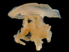 http://mczbase.mcz.harvard.edu/specimen_images/invertebrates/large/717_Catostylus_mosaicus_1.jpg