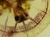 http://mczbase.mcz.harvard.edu/specimen_images/invertebrates/large/717_Catostylus_mosaicus_3.jpg