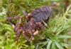 Media of type image, MCZ:IZ:131263 Identified as Gnomulus latoperculum type status Genetic Voucher of Gnomulus latoperculum| Genetic Voucher of Gnomulus latoperculum. ;shows cataloged_item. MCZ:IZ:74220 Identified as Gnomulus latoperculum.