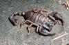 http://mczbase.mcz.harvard.edu/specimen_images/invertebrates/large/74435_Scoropiones_5.jpg