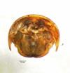 http://mczbase.mcz.harvard.edu/specimen_images/invertebrates/large/87323_Titsonobolus_uncopygus_2.jpg