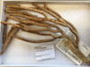 http://mczbase.mcz.harvard.edu/specimen_images/invertebrates/large/ALCY_103_Plexaurella_teres.jpg