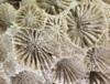 http://mczbase.mcz.harvard.edu/specimen_images/invertebrates/large/CNID-5559_Astrangia_poculata_2.jpg