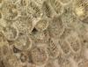 http://mczbase.mcz.harvard.edu/specimen_images/invertebrates/large/CNID-5561_Astrangia_poculata_1.jpg