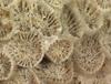http://mczbase.mcz.harvard.edu/specimen_images/invertebrates/large/CNID-5561_Astrangia_poculata_2.jpg