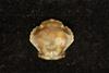 http://mczbase.mcz.harvard.edu/specimen_images/invertebrates/large/CRU_4292_Lissocarcinus_orbicularis_2.jpg