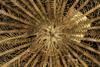 http://mczbase.mcz.harvard.edu/specimen_images/invertebrates/large/MCZ_CRI_551_Lamprometra_palmata_6.jpg