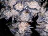 http://mczbase.mcz.harvard.edu/specimen_images/invertebrates/large/OPH_2493_Ophiothela_dividua_5.jpg