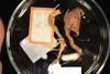 http://mczbase.mcz.harvard.edu/specimen_images/invertebrates/large/PORb_214_Rhizochalina_amphirhiza_1.jpg