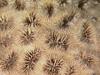 http://mczbase.mcz.harvard.edu/specimen_images/invertebrates/large/SCOR-75_Favia_ananas_2.jpg