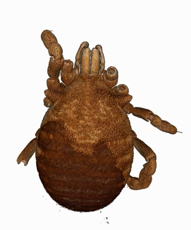 http://mczbase.mcz.harvard.edu/specimen_images/invertebrates/video/mp4/136516_Microgovia_oviformis__microCT.mp4