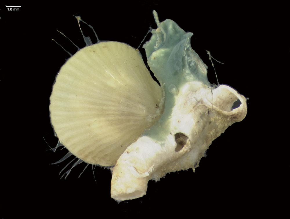 http://mczbase.mcz.harvard.edu/specimen_images/malacology/large/386261_Bivalvia_2.jpg