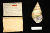 http://mczbase.mcz.harvard.edu/specimen_images/malacology/large/139000_Liguus_fasciatus_dohertyi_1.jpg