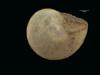 http://mczbase.mcz.harvard.edu/specimen_images/malacology/large/156499_Helicina_rotelloidea_v_.jpg