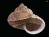 http://mczbase.mcz.harvard.edu/specimen_images/malacology/large/167158_Cyclophorus_punctatulus_2.jpg