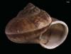 http://mczbase.mcz.harvard.edu/specimen_images/malacology/large/167220_Cyclophorus_dilatatus_3.jpg