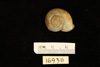 http://mczbase.mcz.harvard.edu/specimen_images/malacology/large/169311_Helix_procumbens_2.jpg