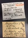 http://mczbase.mcz.harvard.edu/specimen_images/malacology/large/169983_Ampullaria_lattrei_chamana_label.jpg
