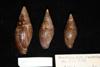http://mczbase.mcz.harvard.edu/specimen_images/malacology/large/211750_Mitra_adansonni_3.jpg