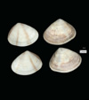 http://mczbase.mcz.harvard.edu/specimen_images/malacology/large/216808_Donax_tinctus_6.jpg