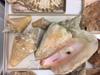 http://mczbase.mcz.harvard.edu/specimen_images/malacology/large/265625_Stombus_gigas.jpg