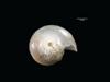 http://mczbase.mcz.harvard.edu/specimen_images/malacology/large/303195_Haminoea_ovalis_3.jpg