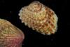 http://mczbase.mcz.harvard.edu/specimen_images/malacology/large/383274_Carditamera_floridana_1.jpg