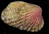 http://mczbase.mcz.harvard.edu/specimen_images/malacology/large/383274_Carditamera_floridana_2.jpg