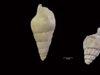 http://mczbase.mcz.harvard.edu/specimen_images/malacology/large/386259_Gastropoda_2.jpg