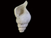 http://mczbase.mcz.harvard.edu/specimen_images/malacology/large/386259_Gastropoda_3.jpg
