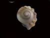 http://mczbase.mcz.harvard.edu/specimen_images/malacology/large/386260_Gastropoda_3.jpg