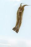 http://mczbase.mcz.harvard.edu/specimen_images/malacology/large/388934_Navanax_intermis_10.jpg