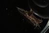 http://mczbase.mcz.harvard.edu/specimen_images/malacology/large/388935_Polycera_hedgethi_12.jpg