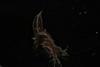 http://mczbase.mcz.harvard.edu/specimen_images/malacology/large/388935_Polycera_hedgethi_13.jpg