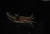 http://mczbase.mcz.harvard.edu/specimen_images/malacology/large/388935_Polycera_hedgethi_15.jpg