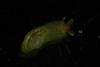 http://mczbase.mcz.harvard.edu/specimen_images/malacology/large/388945_Phyllaplysia_taylori_1.jpg