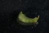 http://mczbase.mcz.harvard.edu/specimen_images/malacology/large/388984_Phyllaplysia_taylori_1.jpg