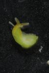 http://mczbase.mcz.harvard.edu/specimen_images/malacology/large/389001_Phyllaplysia_taylori_2.jpg